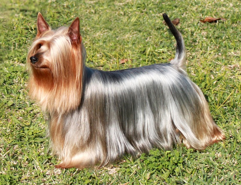 Best Dog Shampoo for Australian Silky Terrier, Shiney Dog