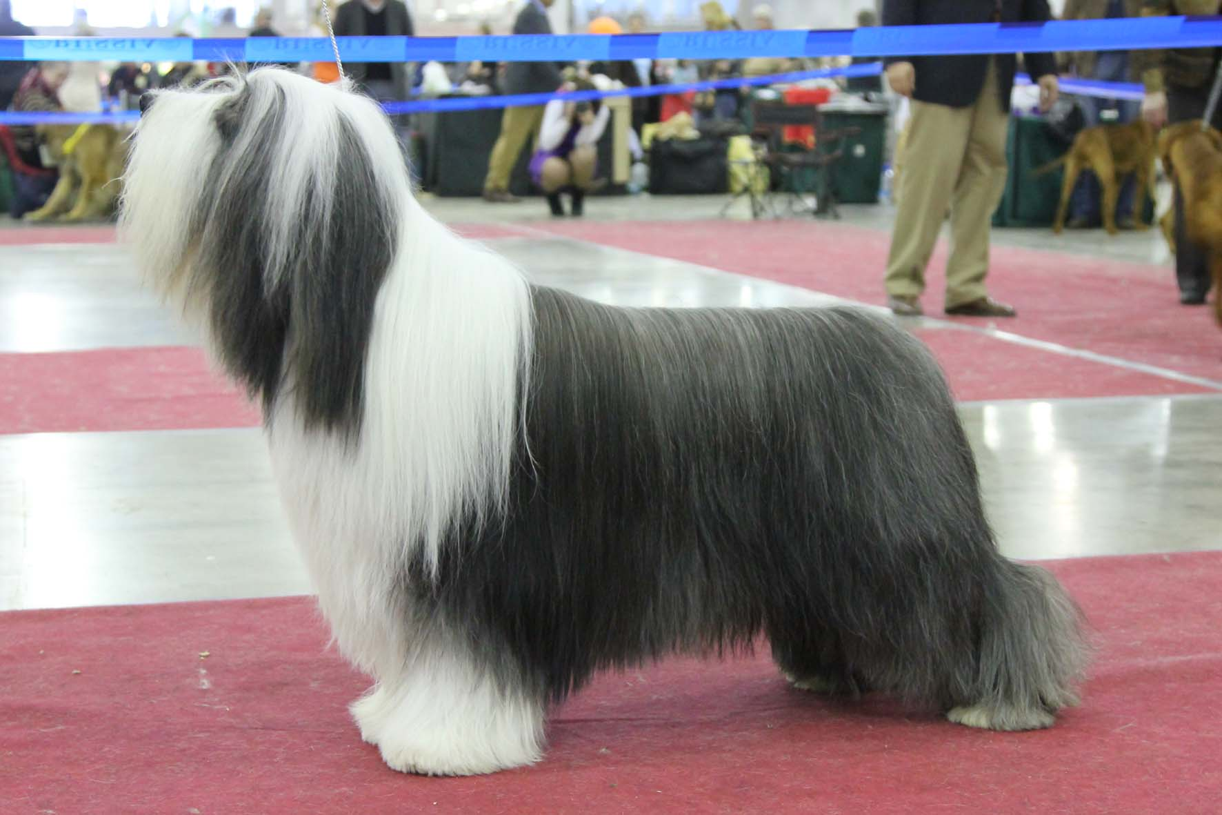 Best Dog Shampoo for Bearded Collie, Border Collie, Champion Dogs