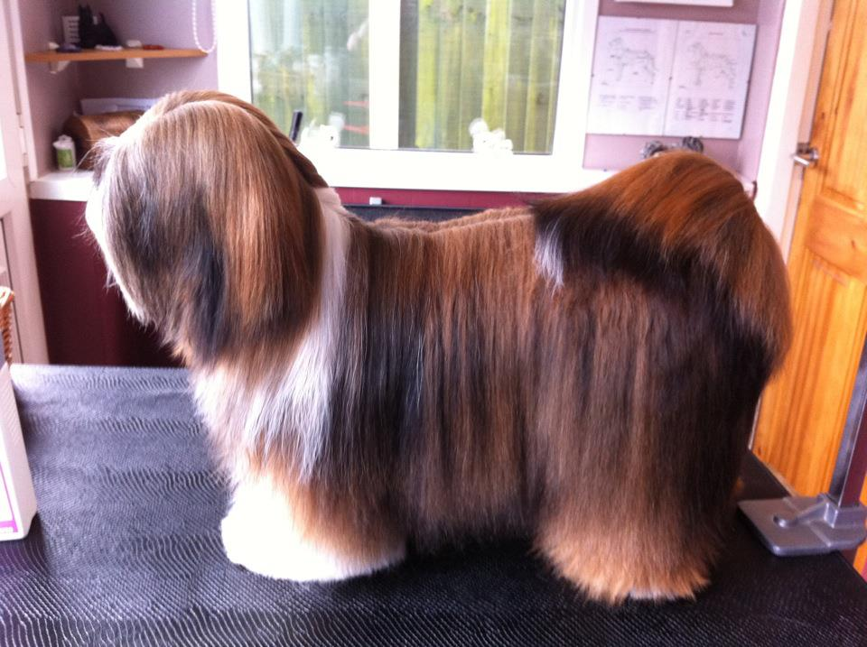 Best Shampoo for Lhasa Apso